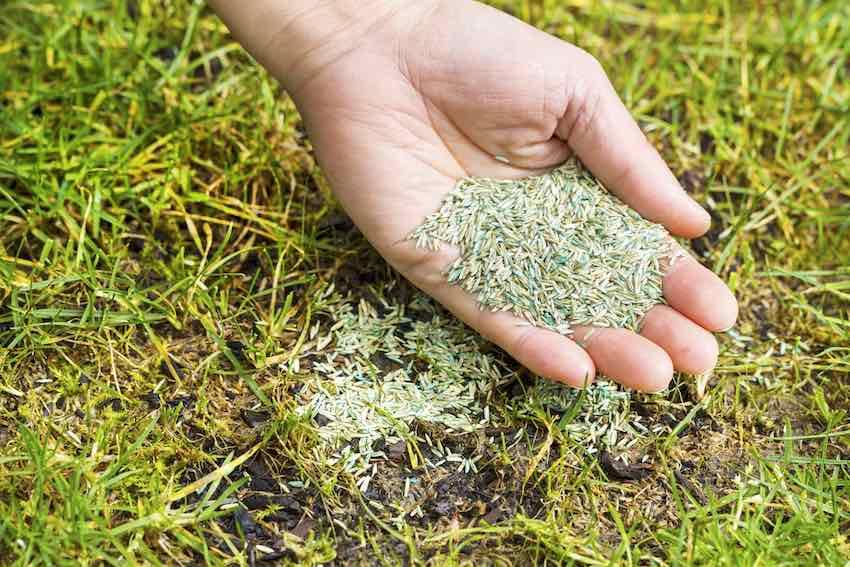 Nach dem Vertikutieren können Sie auf kahlen Stellen frische Rasensamen sähen.